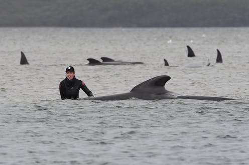 A person in a wetsuit and cap beside one of the stranded whales