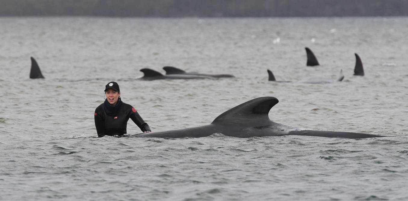 'Like trying to find the door in a dark room while hearing your relatives scream for help': Tasmanias whale stranding tragedy explained
