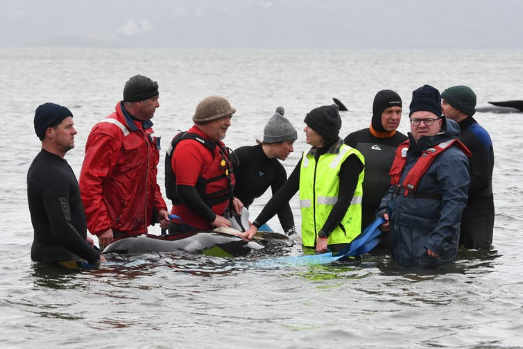 Eight people surround a whale in shallow water.
