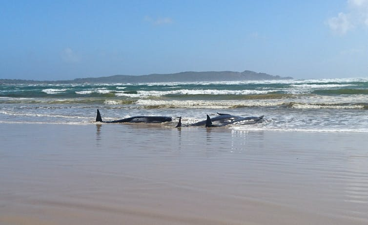 Two stranded whales on the beach