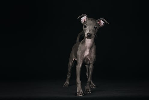 A greyhound puppy