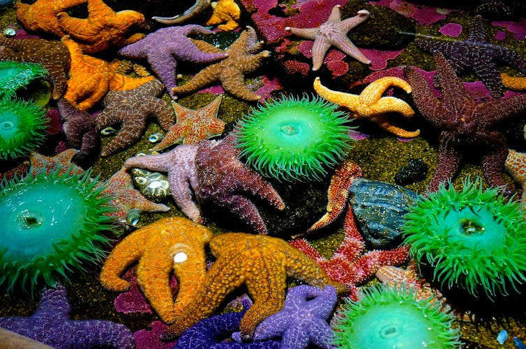 A rock pool filled with orange and purple starfish and bright green anemones.