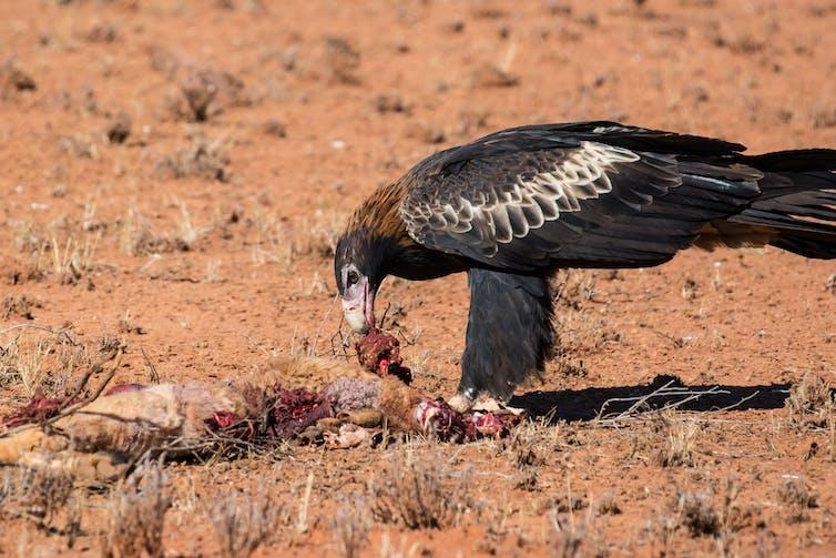 An Australian wedge-tail eagle feeds on a dead kangaroo.