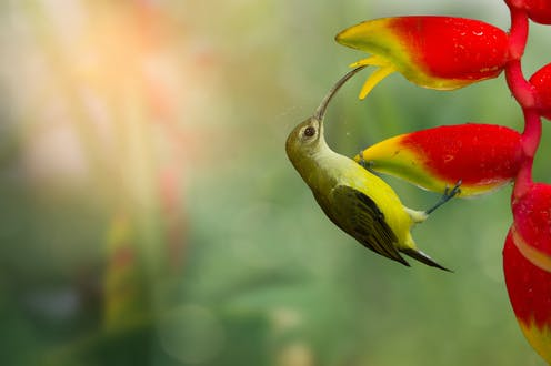 A small, green tropical bird with a long beak visits a red, tropical flower.