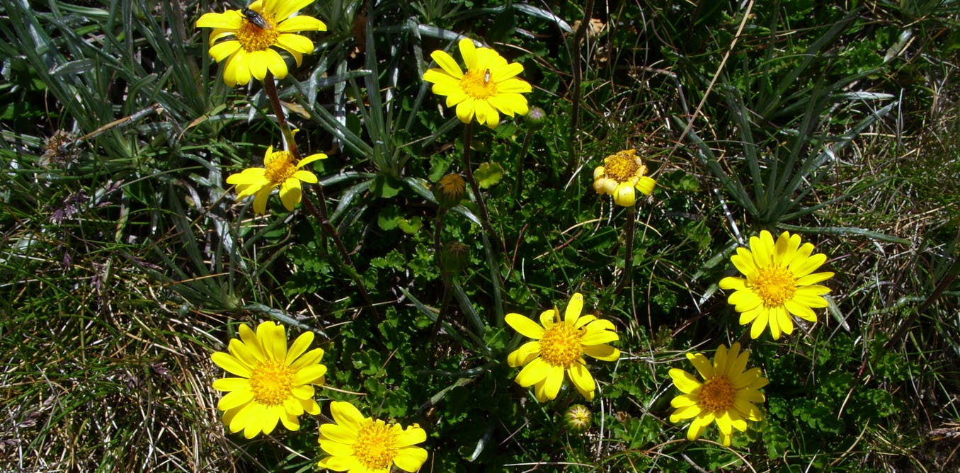 We accidentally found a whole new genus of Australian daisies. Youve probably seen them on your bushwalks