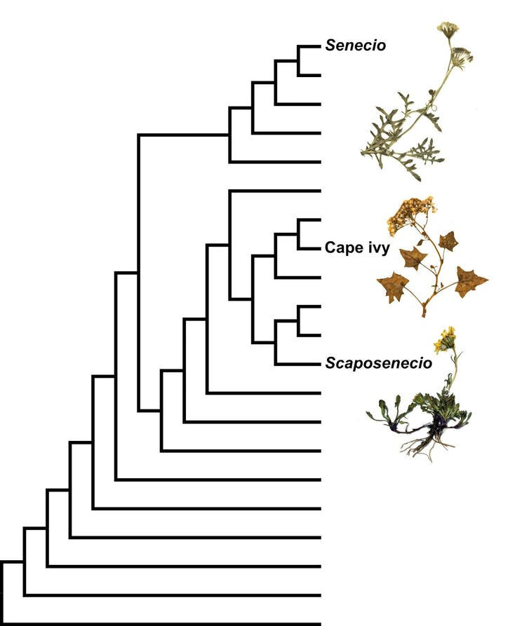 Simplified phylogenetic tree
