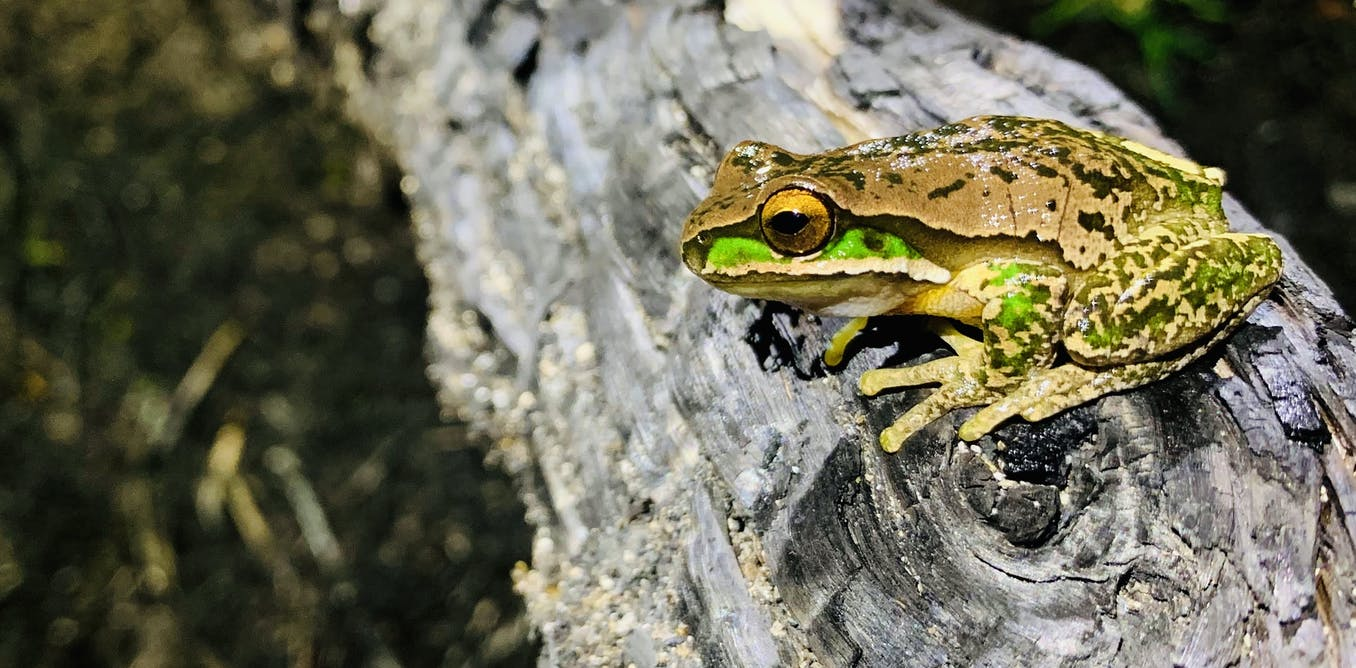 Australians recorded frog calls on their smartphones after the bushfires – and the results are remarkable