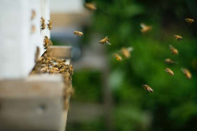 Bees coming and going from an outdoor hive.