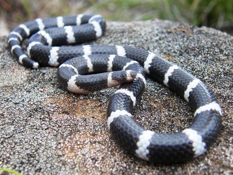 A black snake with white stripes on a rock.