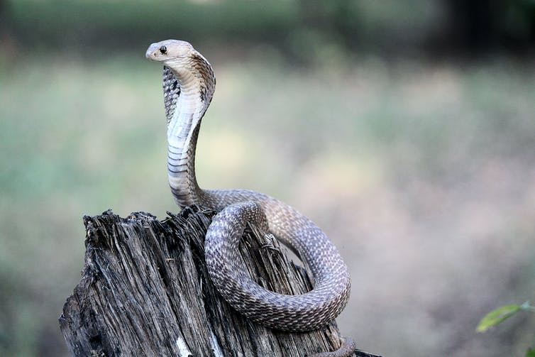 An Indian cobra upright on a log