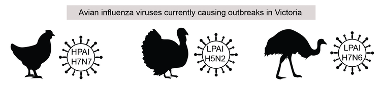 Nearly half a million poultry deaths: there are 3 avian influenza outbreaks in Victoria. Should we be worried?