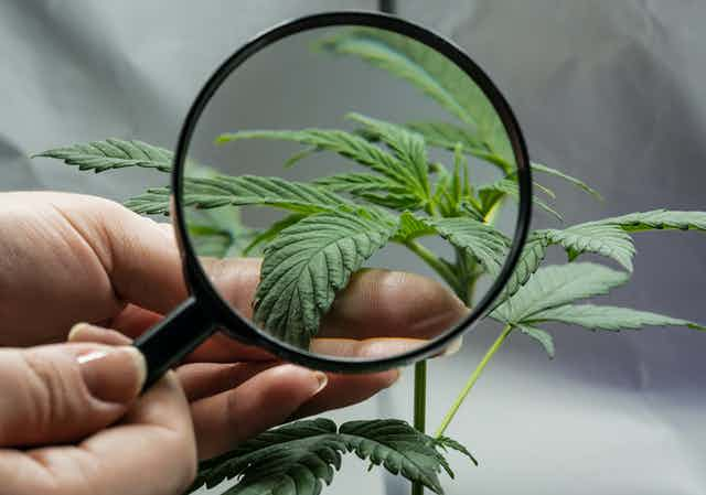 A magnifying glass looking close up at a cannabis plant leaf.