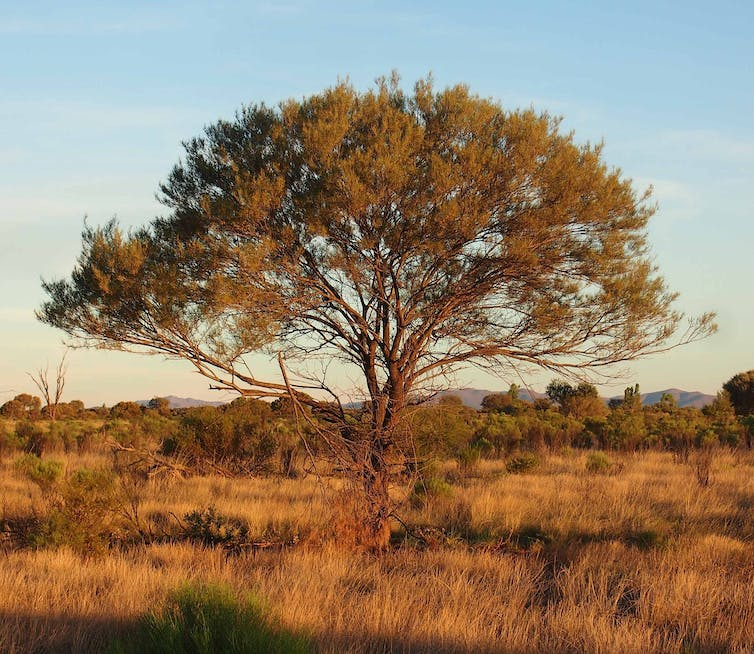 A mulga in the Australian desert