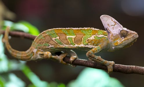 A gold and green banded chameleon rests on a branch.