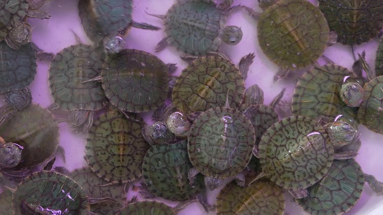Baby terrapins scramble over each other in a shallow tub.