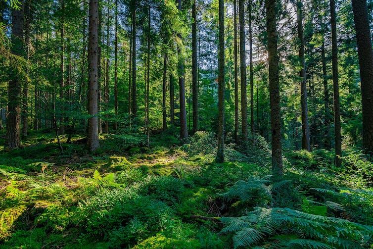 Un día soleado en la Selva Negra alemana.Shutterstock / Arthur Palmer