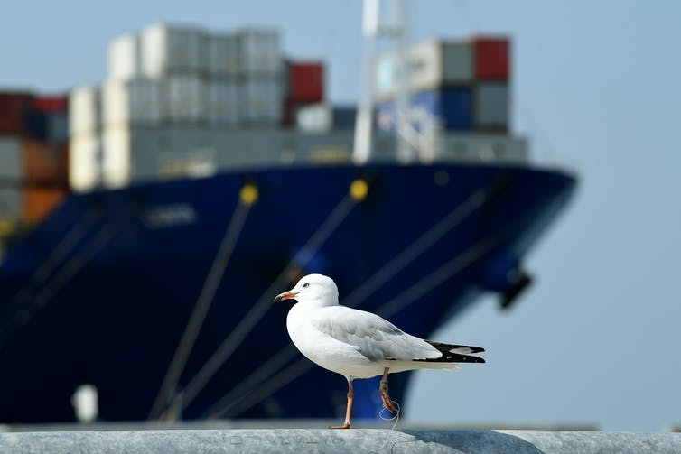 Seagull in front of a container ship in Port Botany.