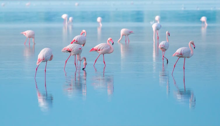 A flock of pink flamingos in blue water