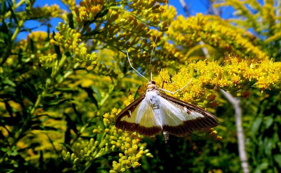 Pyrale du buis sur un arbuste en fleur.