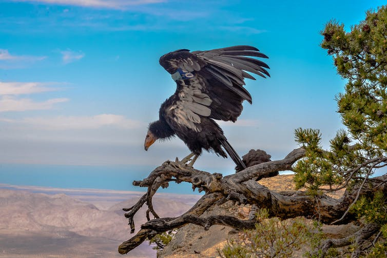 A large black-and-white vulture opens its wings on a tree branch, with a vast desert behind it.