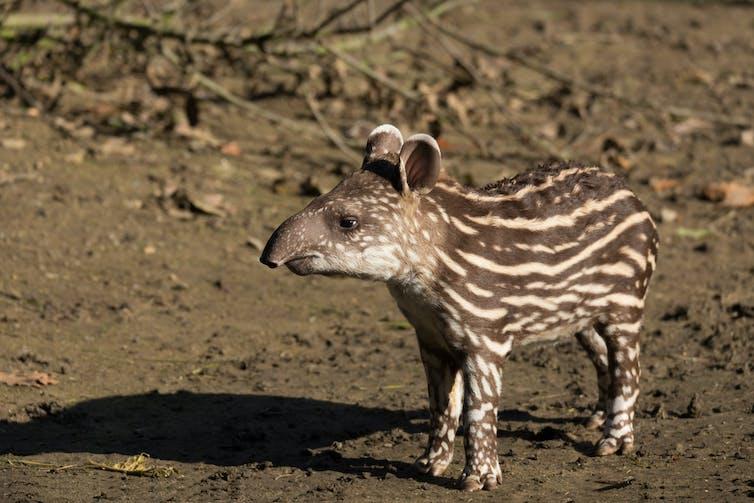 A young tapir