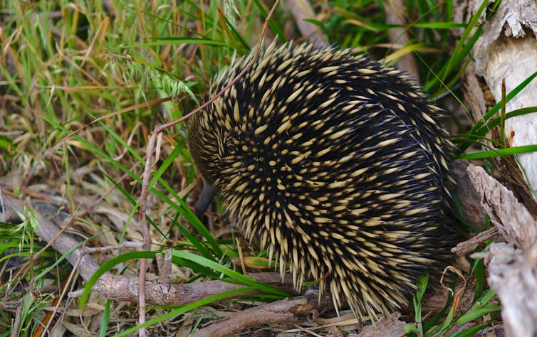 An echidna in the bush.