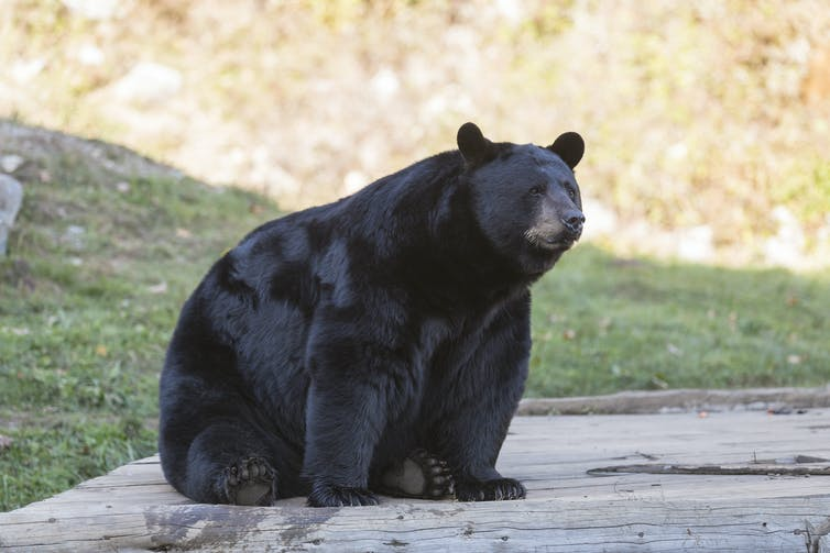 An American black bear