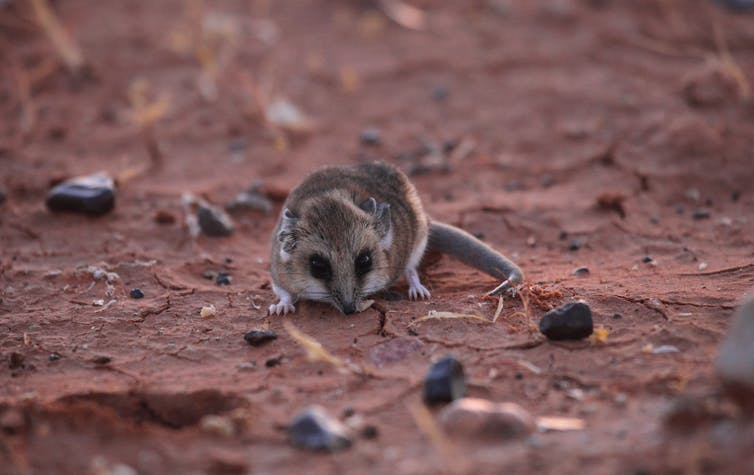 A fat-tailed dunnart.
