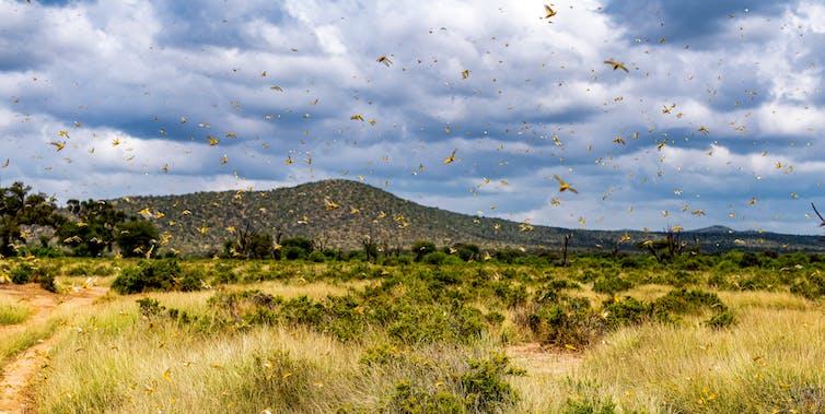 Landscape view view of a locust swarm.