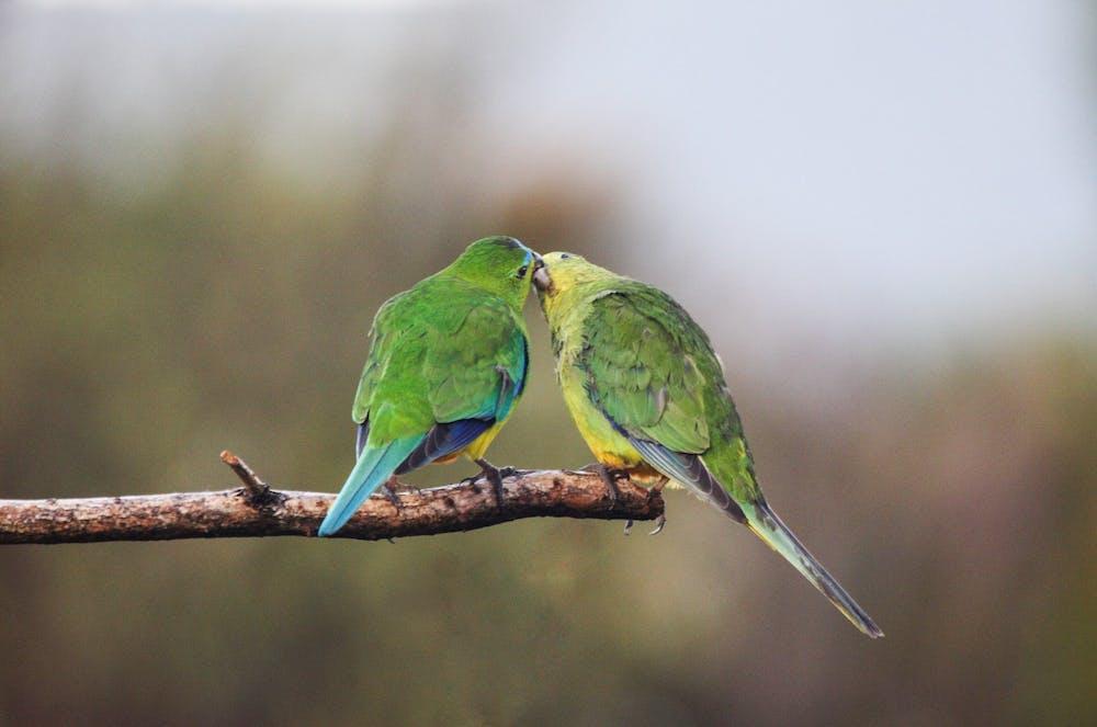 Australian endangered species: Orange-bellied Parrot