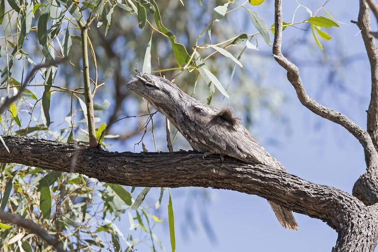 A tawny frogmouth sits still on a branch.