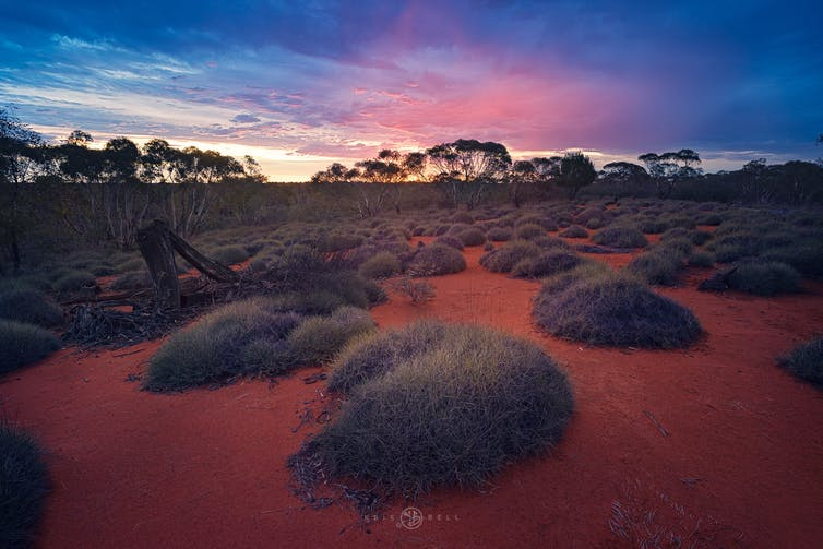 Spinifex clumps on red dirt