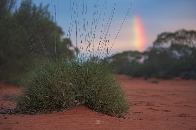 Spinifex with a rainbow in the background