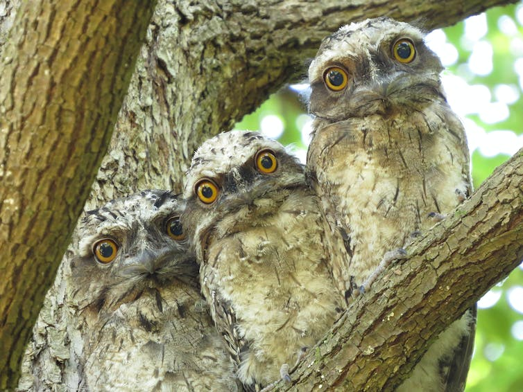 Three tawny frogmouths in a tree