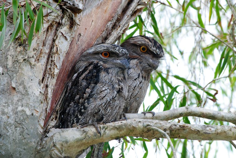 A pair of Tawny Frogmouths in a tree.