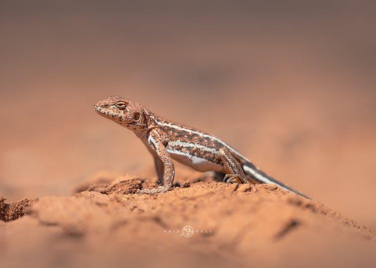 A profile of a mallee dragon
