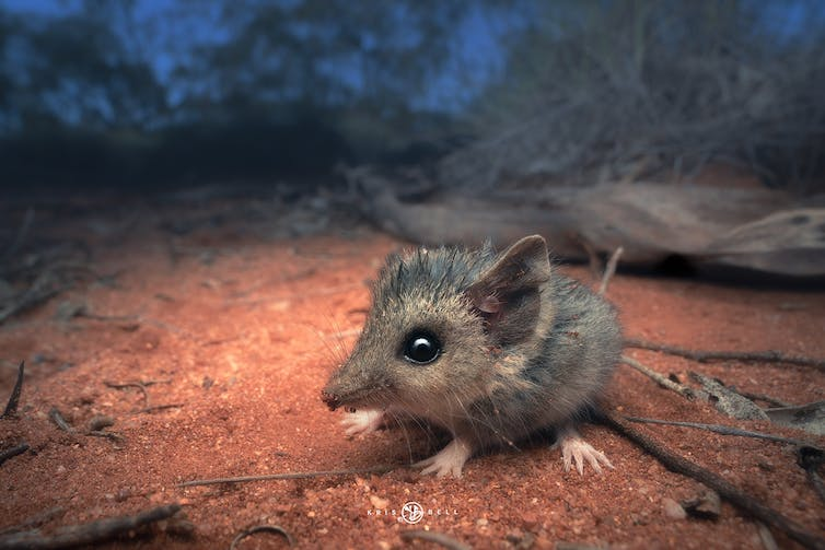 slender-tailed dunnart