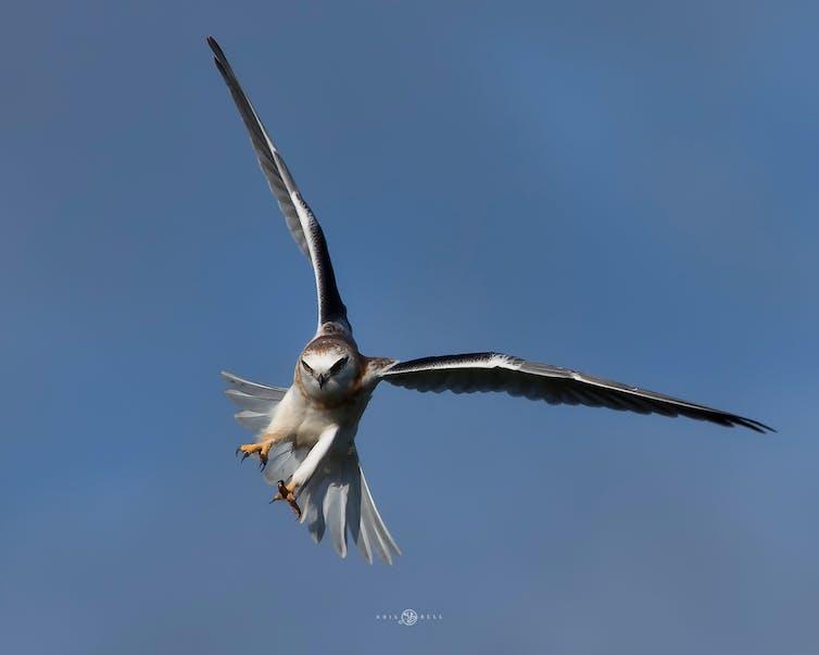 A soaring black shouldered kite