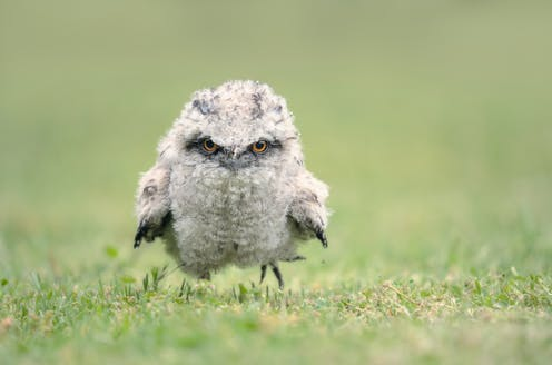 A Tawny Frogmouth chick.