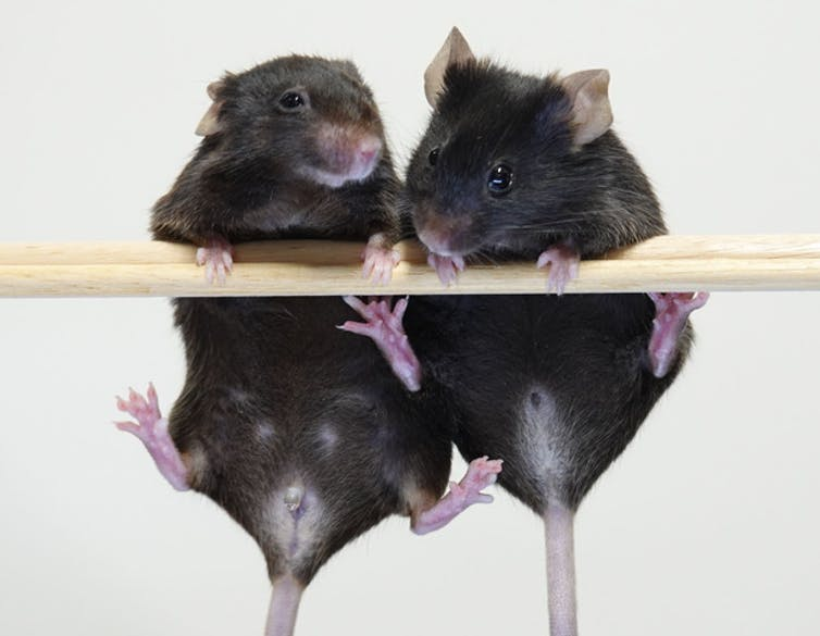 Two mice hang from a wooden bar.