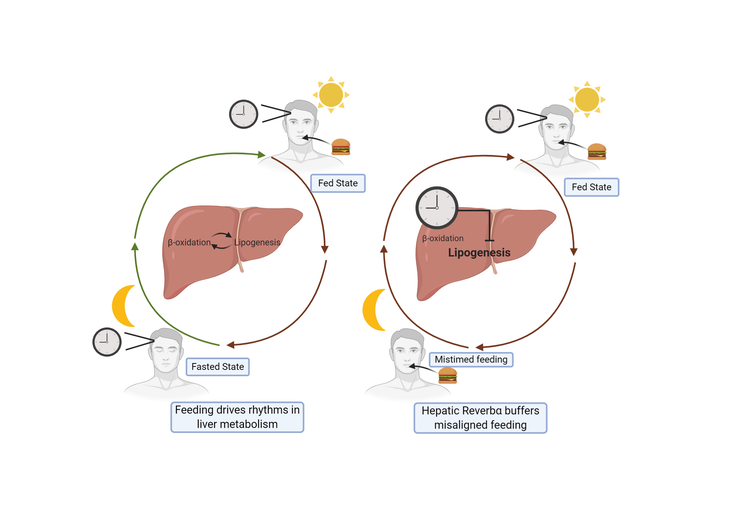 A diagram of how the liver 'clock' gene helps smooth out occasional circadian rhythm disruptions.