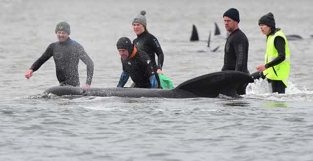 Volunteers in wetsuits wading in shallow coastal water surround a black pilot whale.