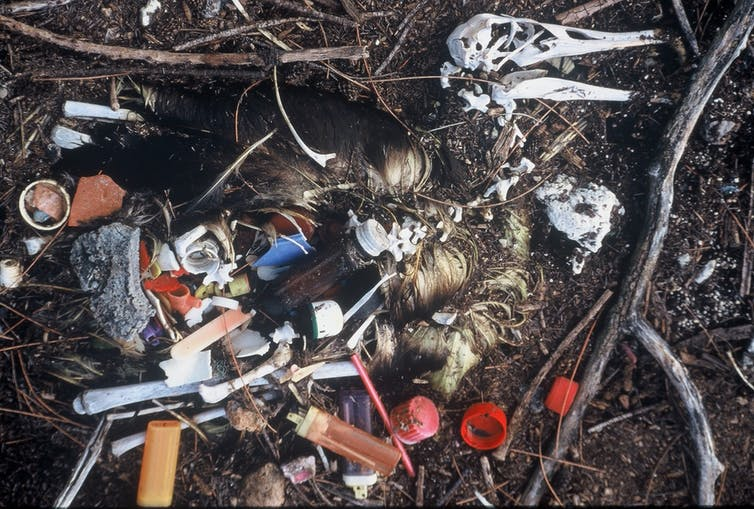 A dead albatross with plastic in its stomach from Midway Atoll