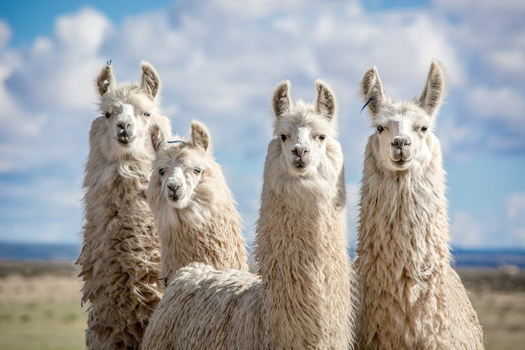 Four llamas pose for the camera.