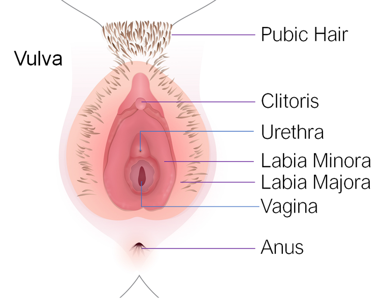 An anatomically correct, and labelled, drawing of a female genital area.
