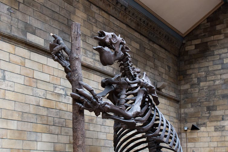 Large sloth skeleton.
