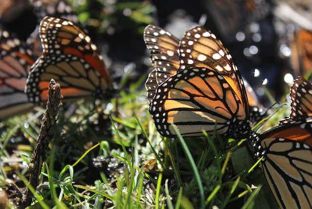 Monarch butterflies on plants
