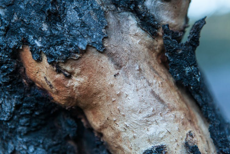 Burnt tree bark reveals health bellow