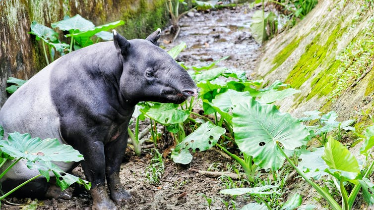 A tapir sitting in a green forest.