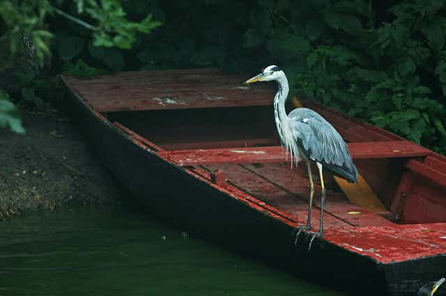 A grey heron rests on a wooden, red boat on a river bank.